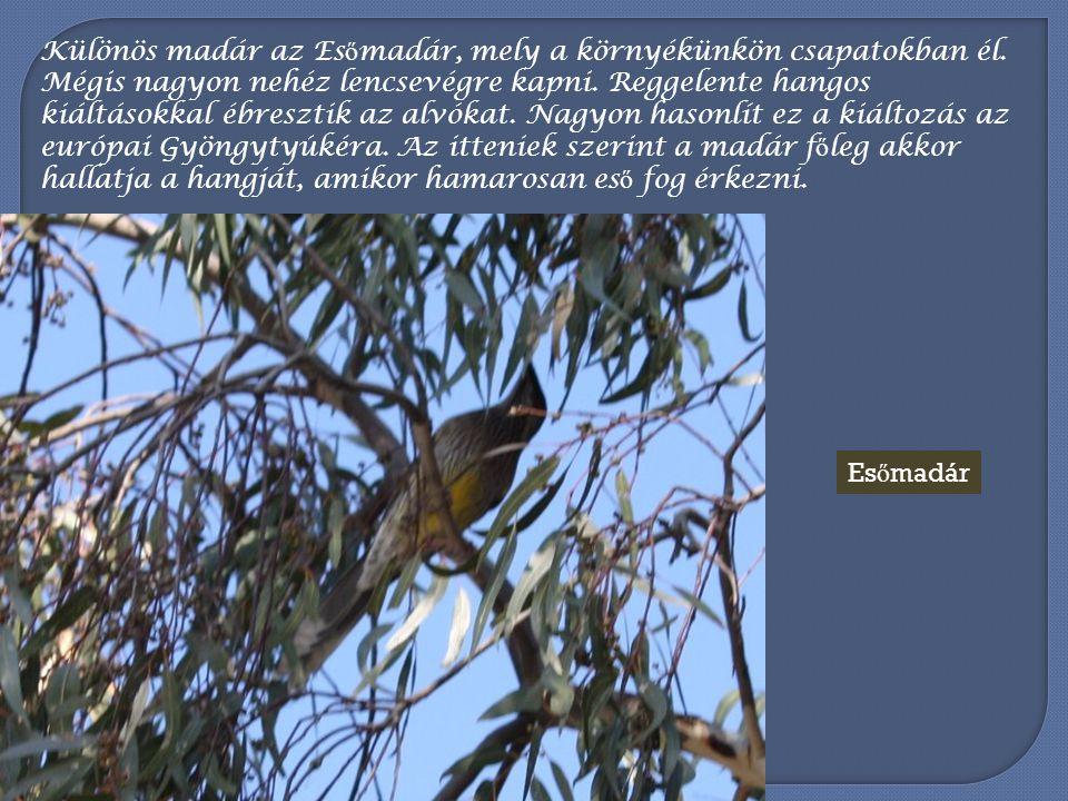 Különös madár az Esőmadár, mely a környékünkön csapatokban él