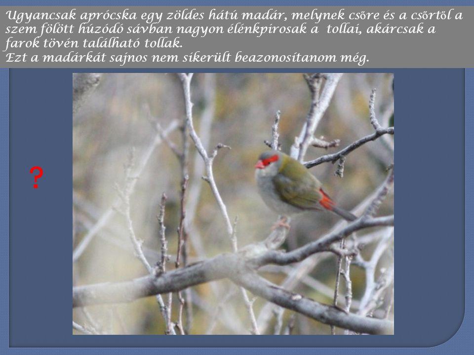Ugyancsak aprócska egy zöldes hátú madár, melynek csőre és a csőrtől a szem fölött húzódó sávban nagyon élénkpirosak a tollai, akárcsak a farok tövén található tollak.