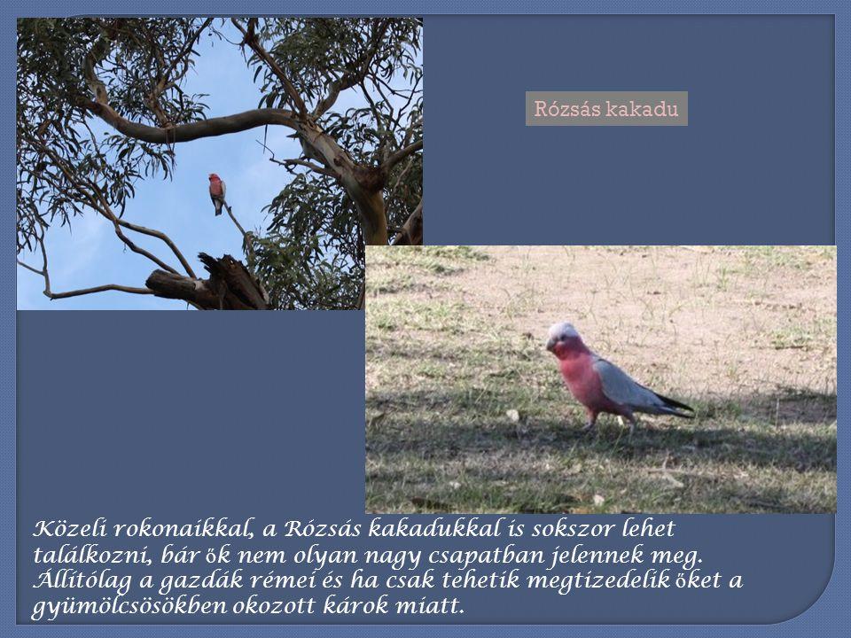 Rózsás kakadu