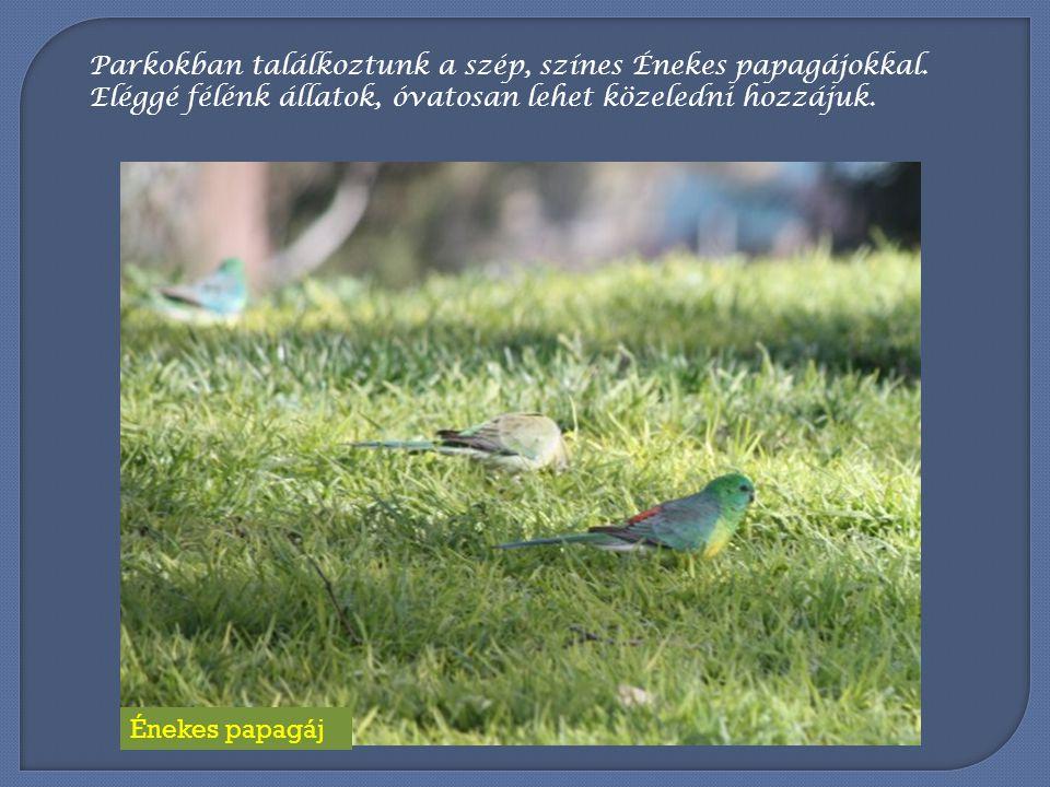 Parkokban találkoztunk a szép, színes Énekes papagájokkal