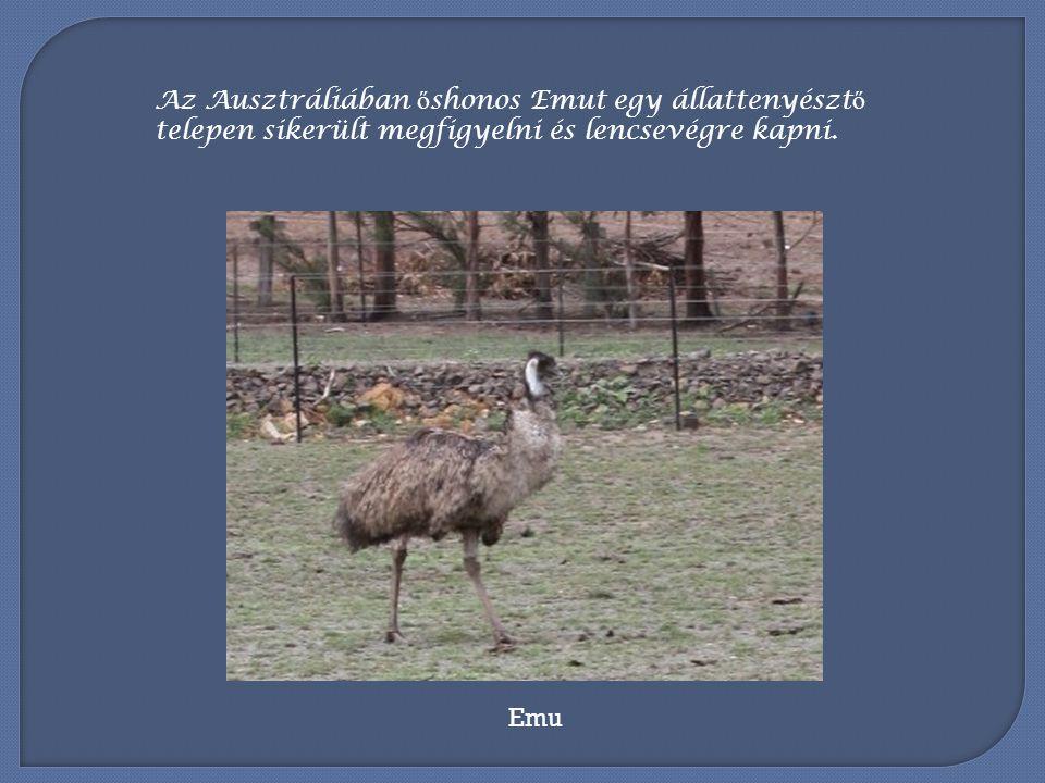 Az Ausztráliában őshonos Emut egy állattenyésztő telepen sikerült megfigyelni és lencsevégre kapni.
