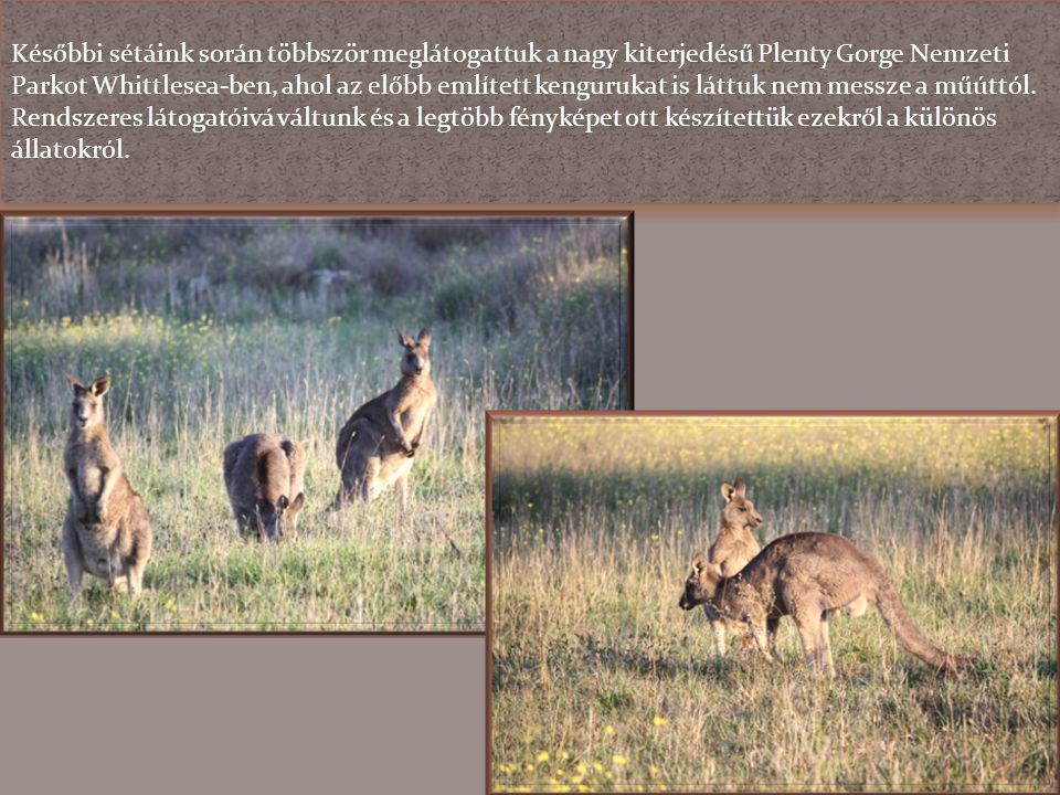 Későbbi sétáink során többször meglátogattuk a nagy kiterjedésű Plenty Gorge Nemzeti Parkot Whittlesea-ben, ahol az előbb említett kengurukat is láttuk nem messze a műúttól.