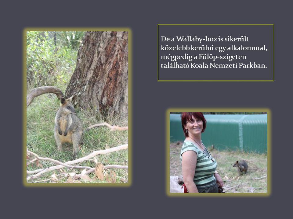 De a Wallaby-hoz is sikerült közelebb kerülni egy alkalommal, mégpedig a Fülöp-szigeten található Koala Nemzeti Parkban.