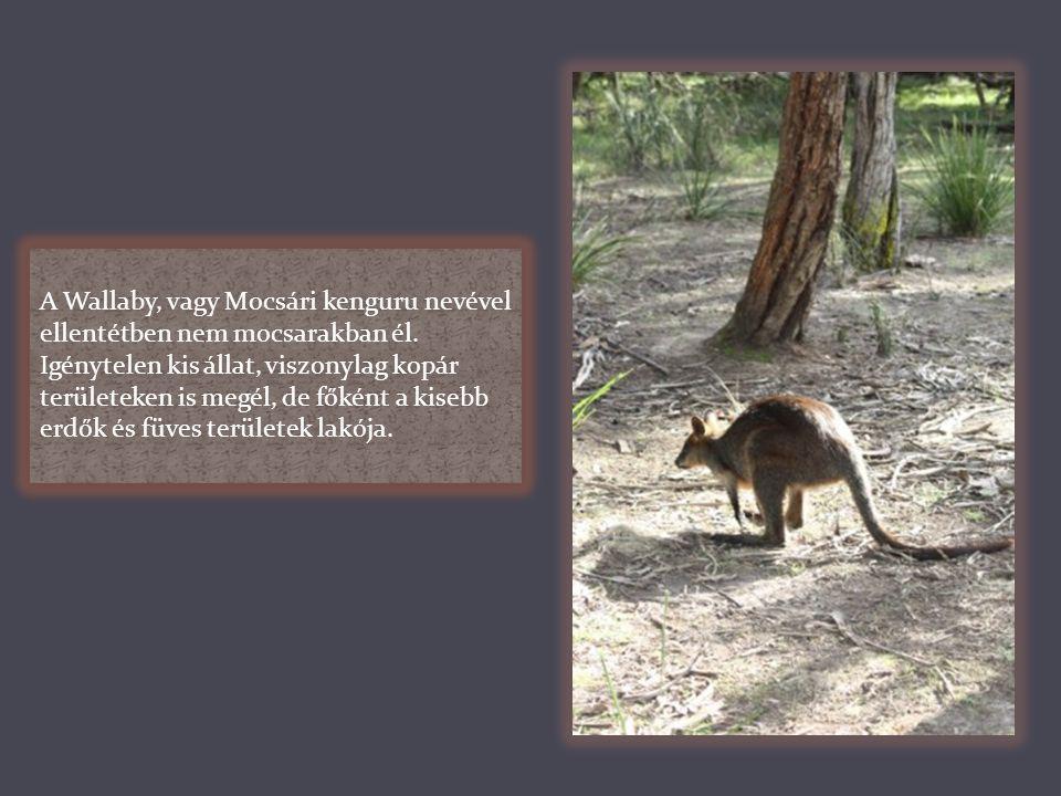 A Wallaby, vagy Mocsári kenguru nevével ellentétben nem mocsarakban él