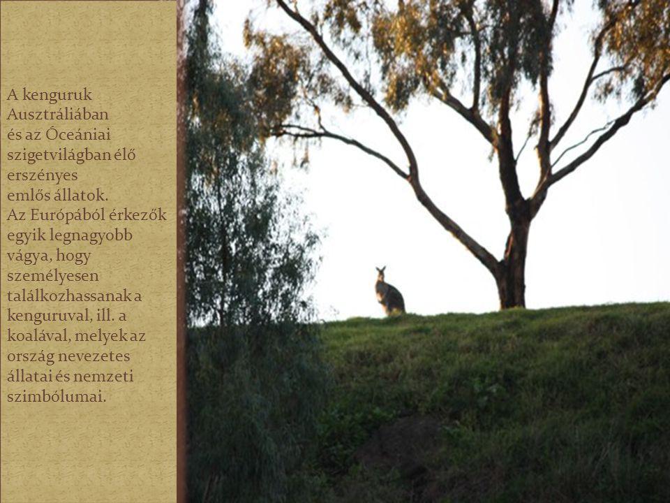 A kenguruk Ausztráliában