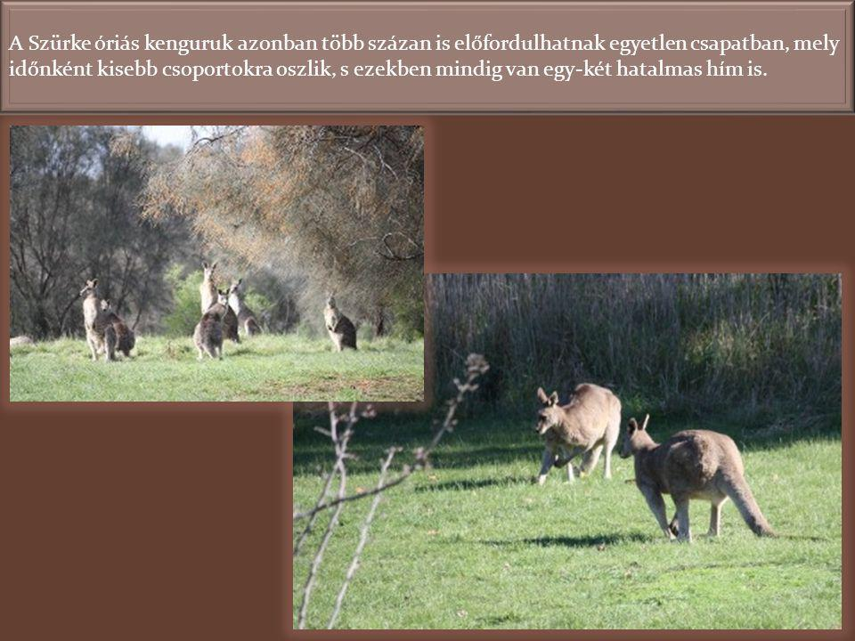 A Szürke óriás kenguruk azonban több százan is előfordulhatnak egyetlen csapatban, mely időnként kisebb csoportokra oszlik, s ezekben mindig van egy-két hatalmas hím is.