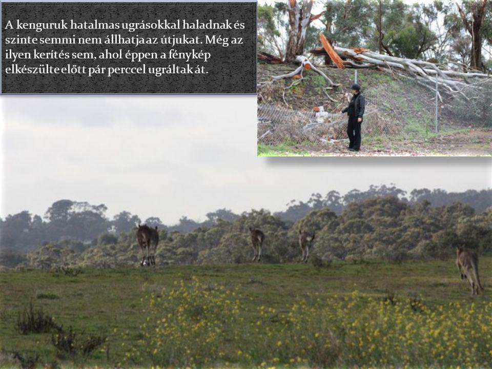 A kenguruk hatalmas ugrásokkal haladnak és szinte semmi nem állhatja az útjukat.