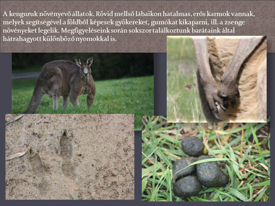 A kenguruk növényevő állatok