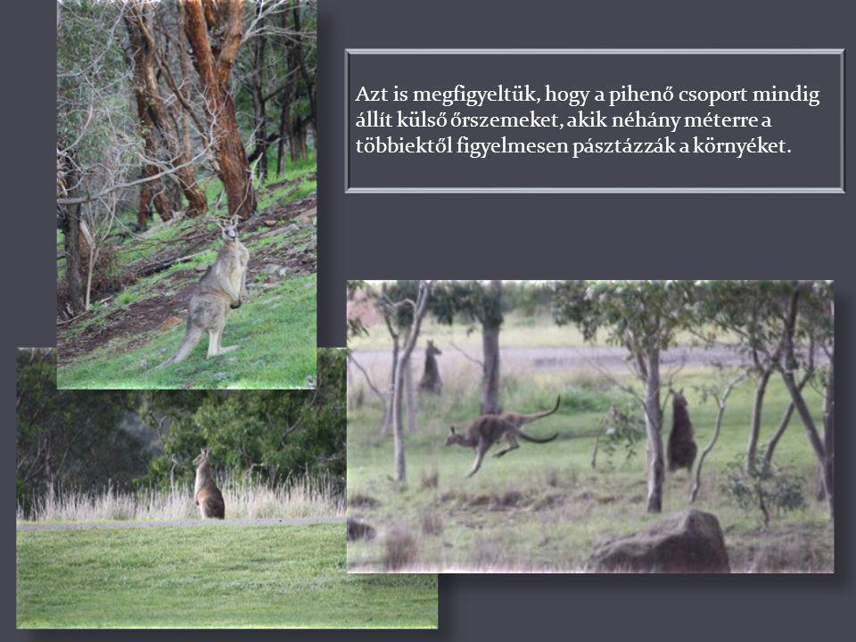 Azt is megfigyeltük, hogy a pihenő csoport mindig állít külső őrszemeket, akik néhány méterre a többiektől figyelmesen pásztázzák a környéket.