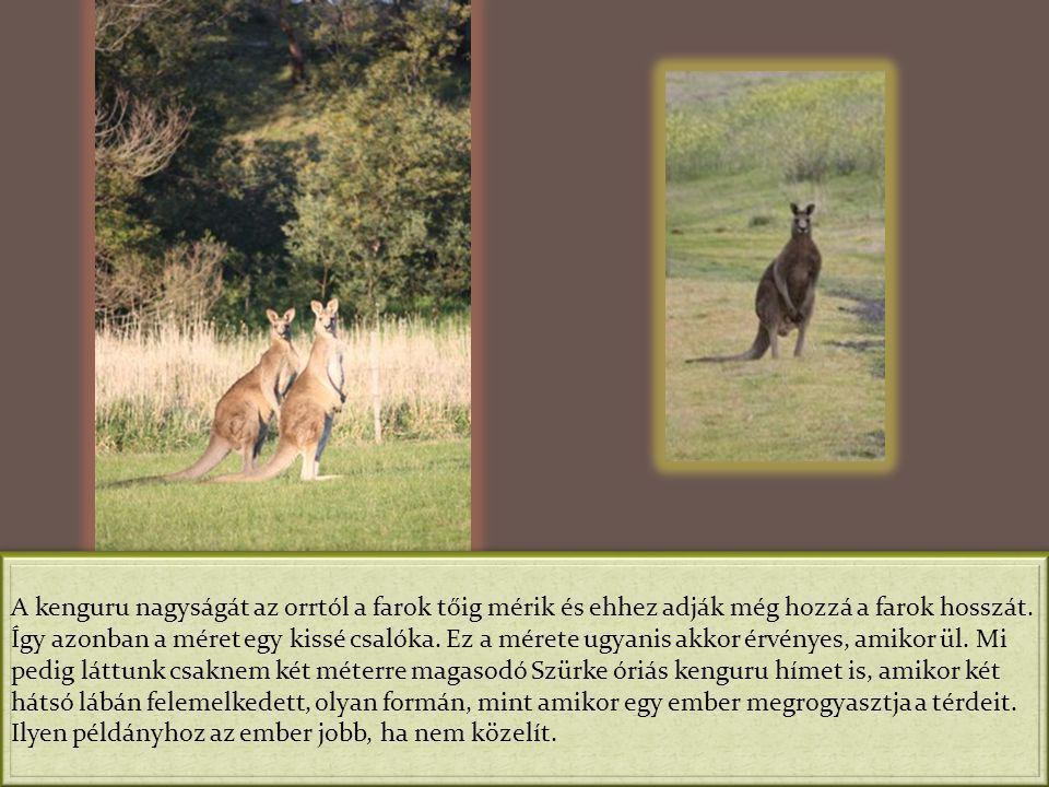 A kenguru nagyságát az orrtól a farok tőig mérik és ehhez adják még hozzá a farok hosszát.