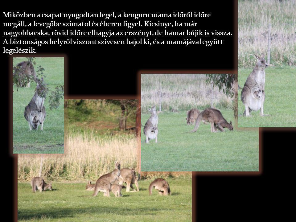 Miközben a csapat nyugodtan legel, a kenguru mama időről időre megáll, a levegőbe szimatol és éberen figyel.