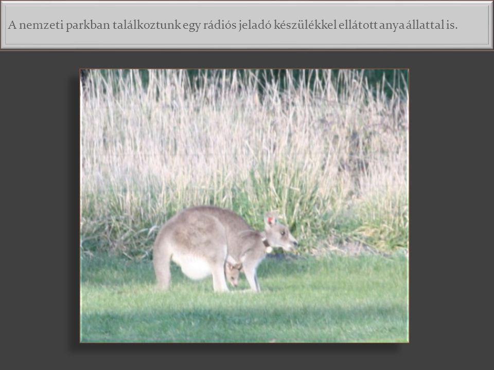A nemzeti parkban találkoztunk egy rádiós jeladó készülékkel ellátott anya állattal is.