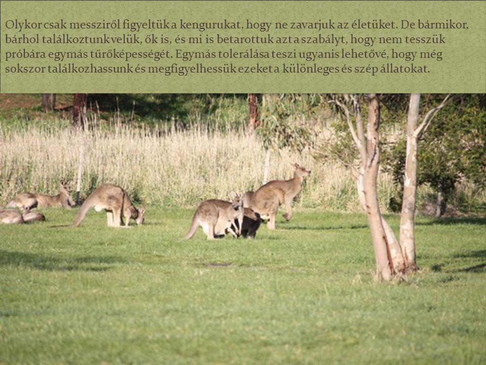 Olykor csak messziről figyeltük a kengurukat, hogy ne zavarjuk az életüket.