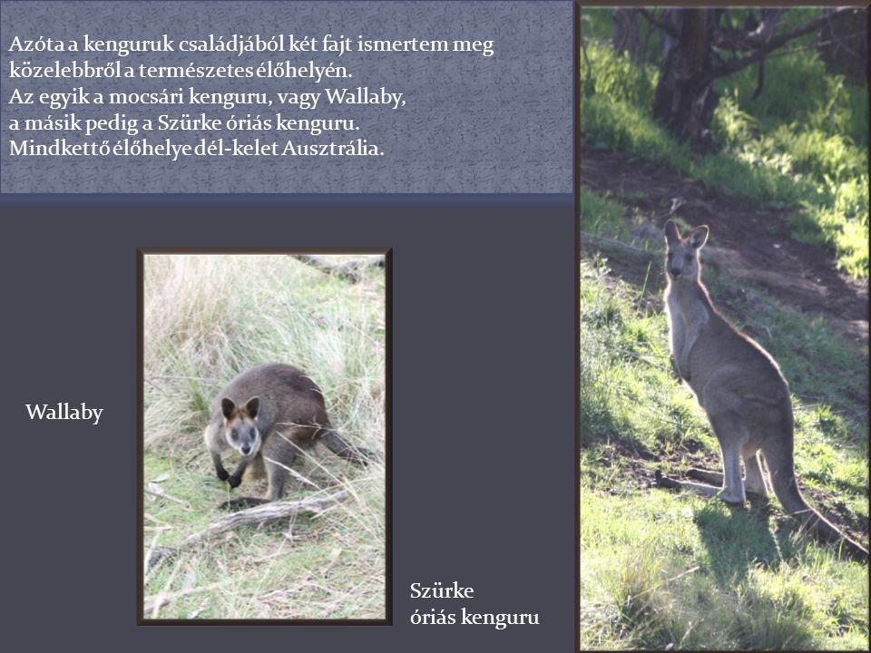 Azóta a kenguruk családjából két fajt ismertem meg közelebbről a természetes élőhelyén.