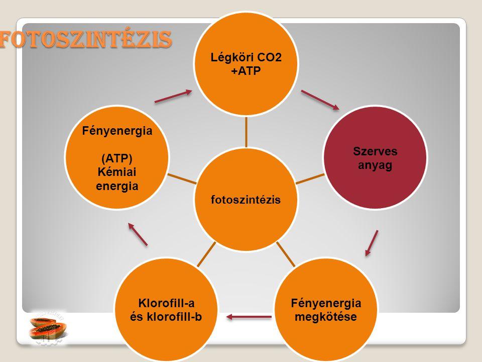 Fényenergia megkötése Klorofill-a és klorofill-b