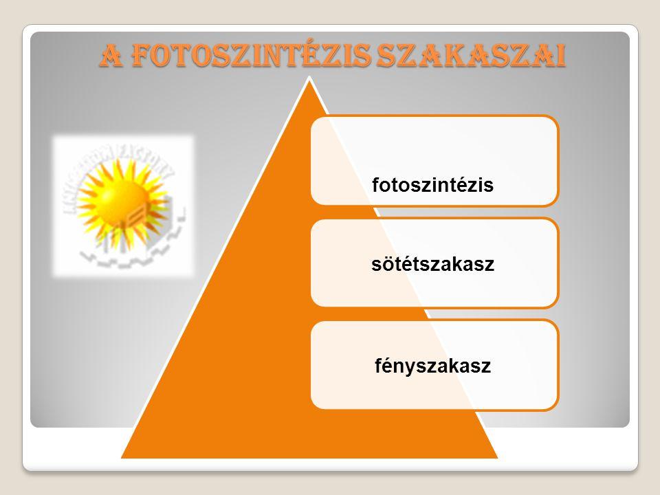 A fotoszintézis szakaszai