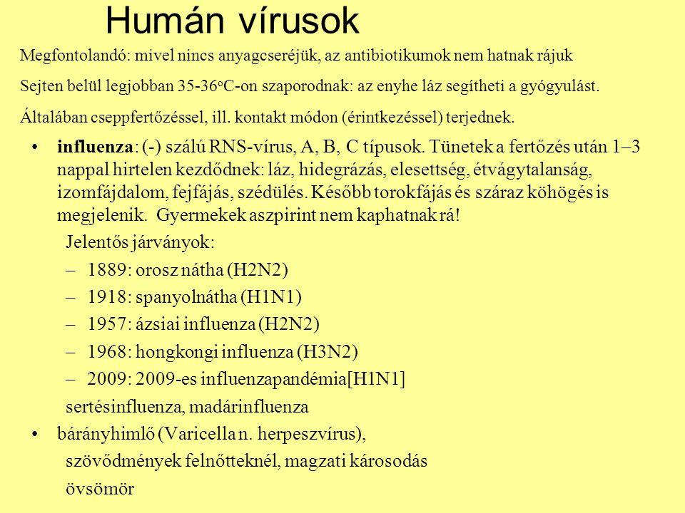 Humán vírusok Megfontolandó: mivel nincs anyagcseréjük, az antibiotikumok nem hatnak rájuk.