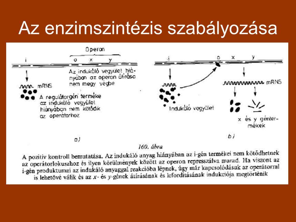 Az enzimszintézis szabályozása