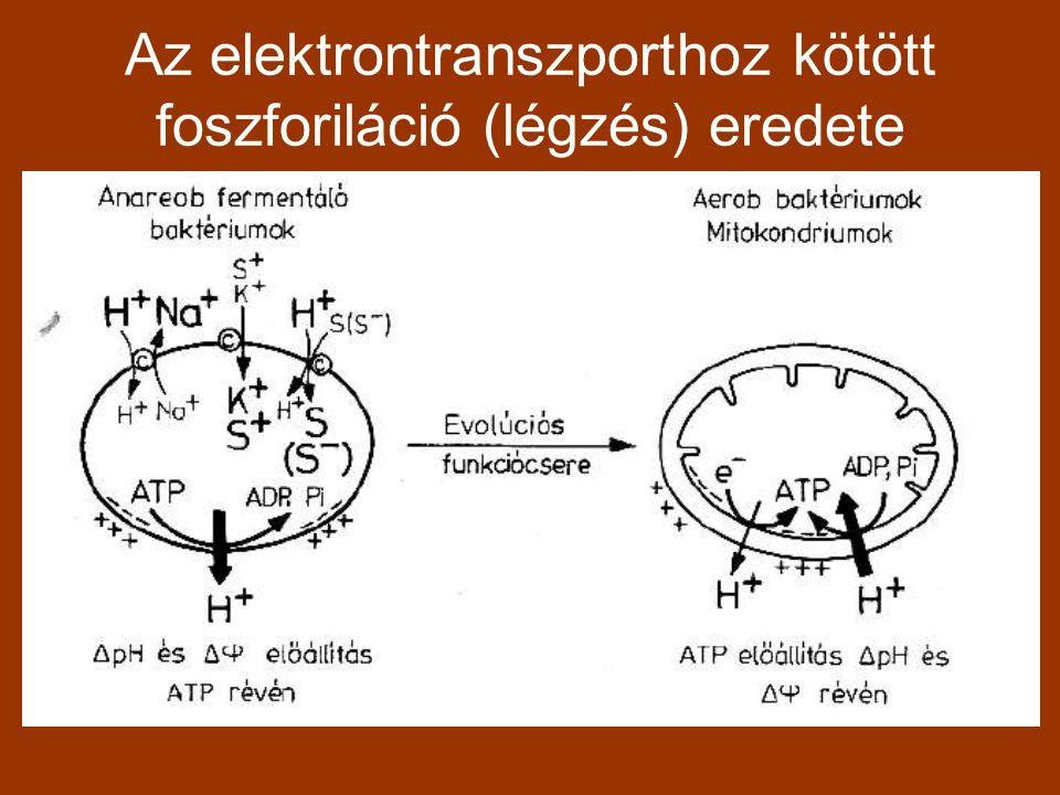Az elektrontranszporthoz kötött foszforiláció (légzés) eredete