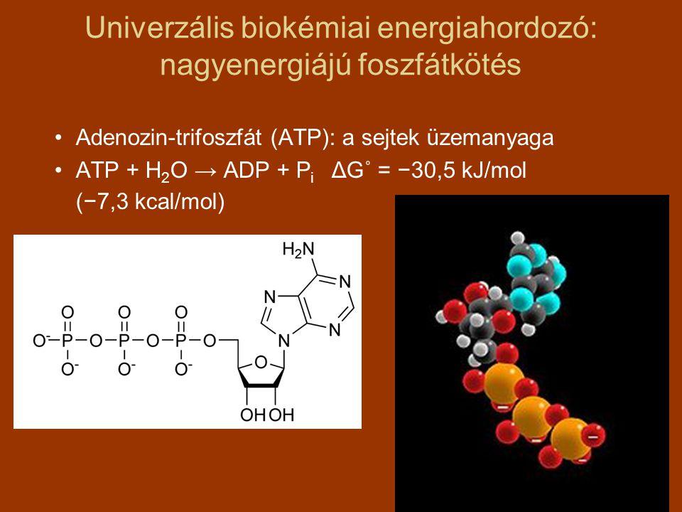 Univerzális biokémiai energiahordozó: nagyenergiájú foszfátkötés