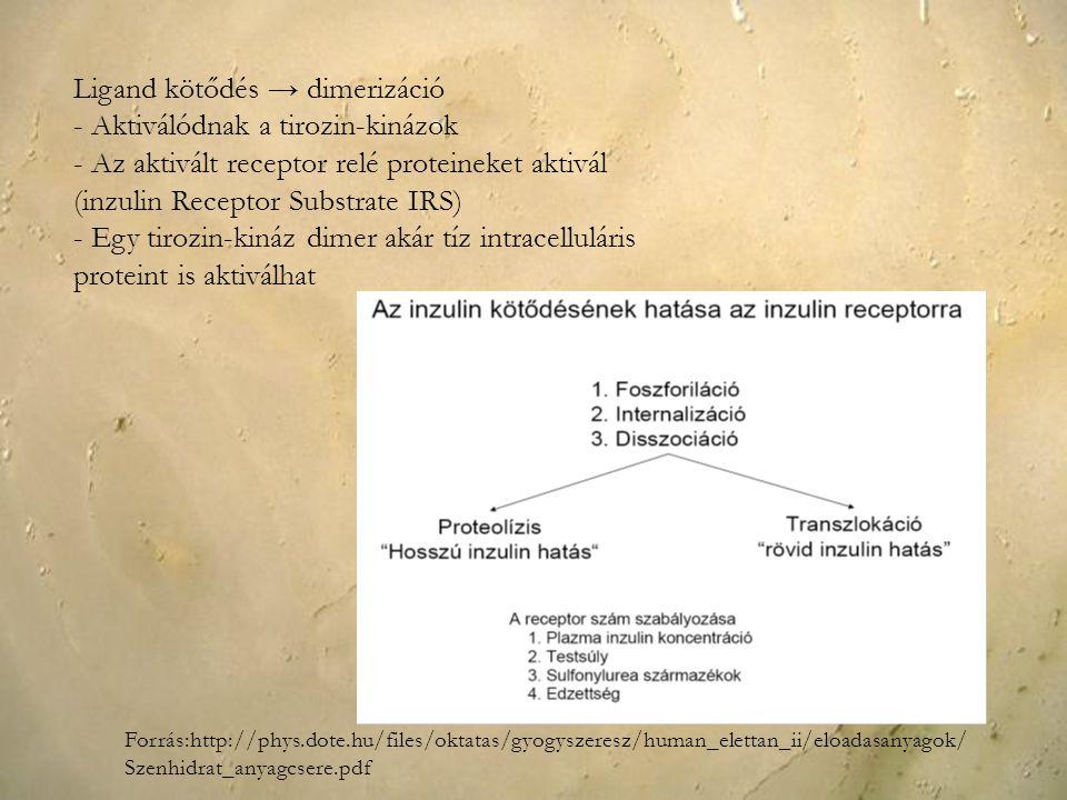 Ligand kötődés → dimerizáció - Aktiválódnak a tirozin-kinázok