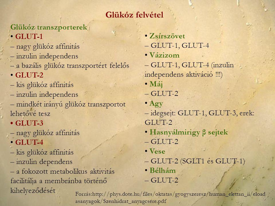 Glükóz felvétel Glükóz transzporterek • GLUT-1 – nagy glükóz affinitás