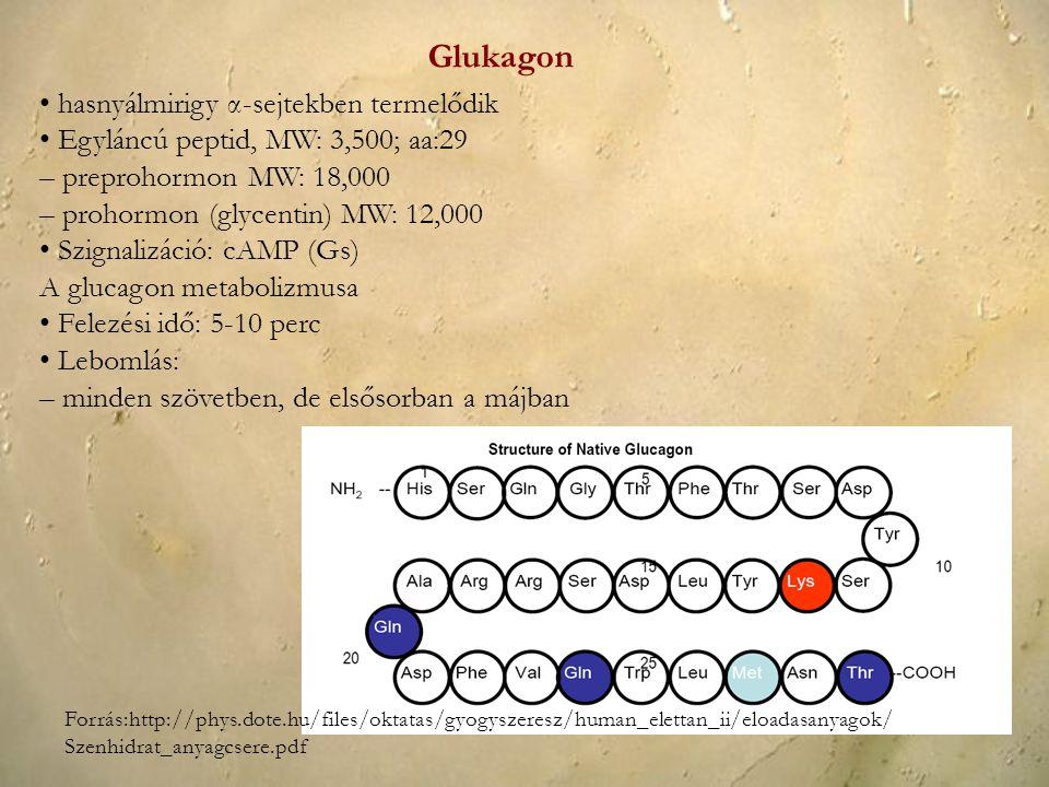 Glukagon • hasnyálmirigy α-sejtekben termelődik