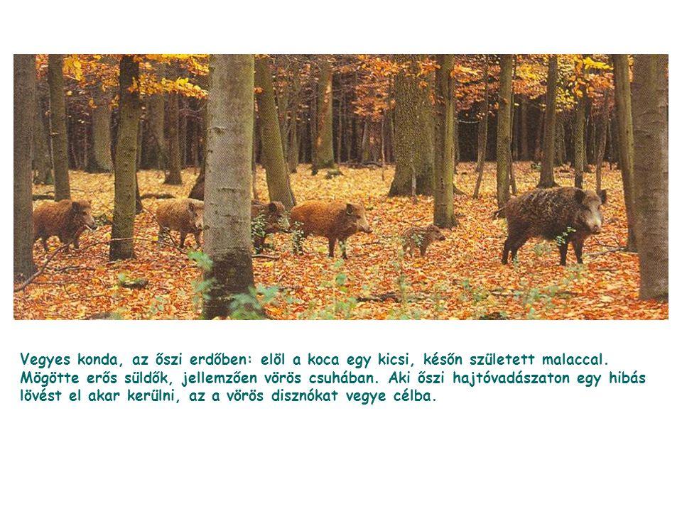 Vegyes konda, az őszi erdőben: elöl a koca egy kicsi, későn született malaccal.