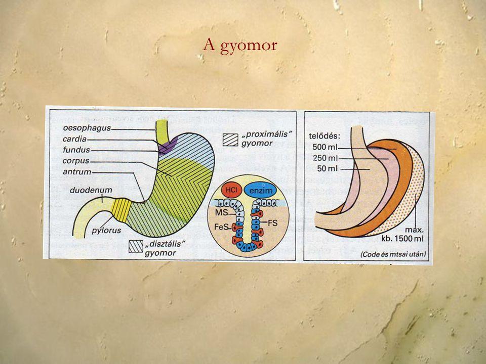 A gyomor