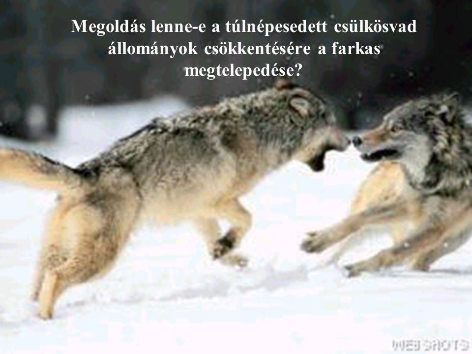 Megoldás lenne-e a túlnépesedett csülkösvad állományok csökkentésére a farkas megtelepedése