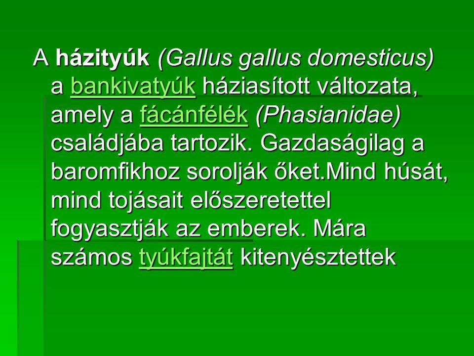 A házityúk (Gallus gallus domesticus) a bankivatyúk háziasított változata, amely a fácánfélék (Phasianidae) családjába tartozik.
