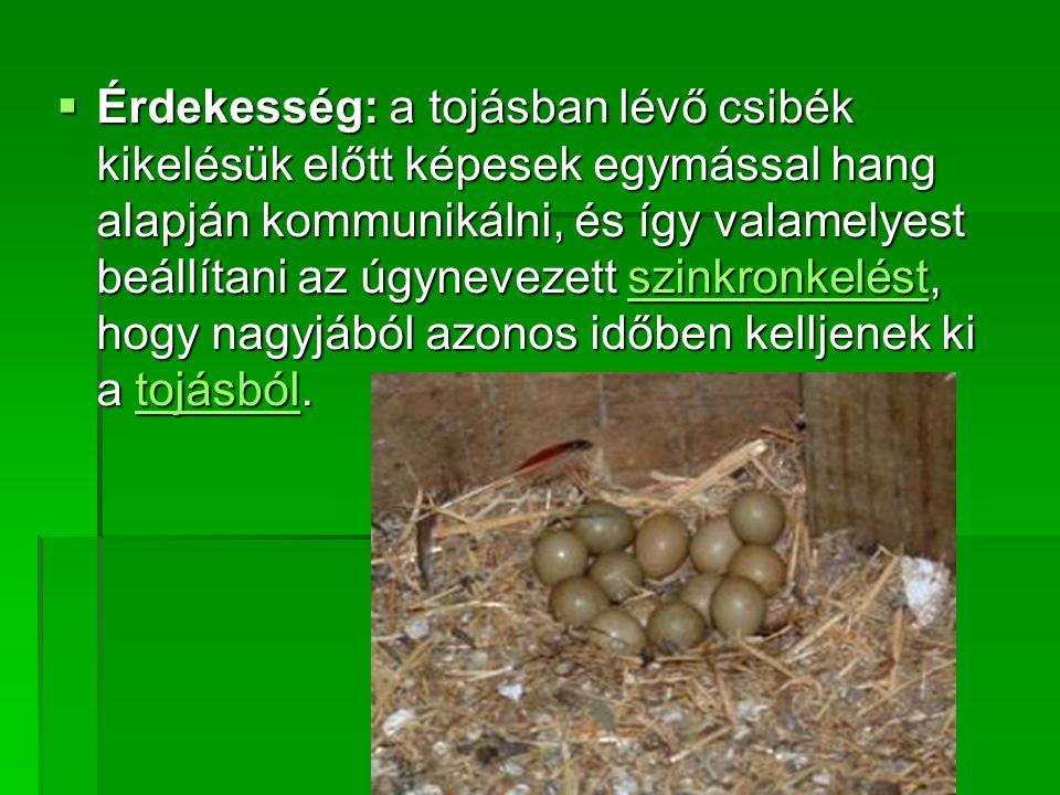 Érdekesség: a tojásban lévő csibék kikelésük előtt képesek egymással hang alapján kommunikálni, és így valamelyest beállítani az úgynevezett szinkronkelést, hogy nagyjából azonos időben kelljenek ki a tojásból.