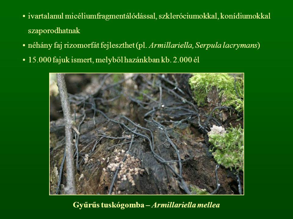 Gyűrűs tuskógomba – Armillariella mellea