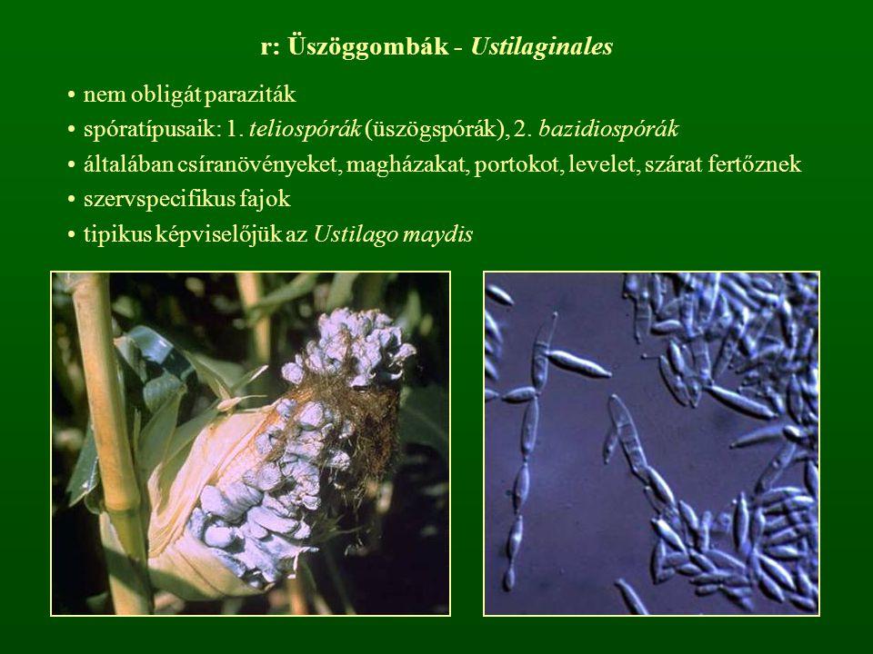 r: Üszöggombák - Ustilaginales