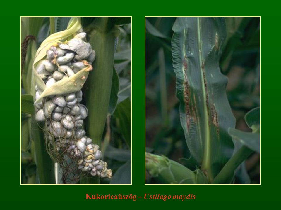 Kukoricaüszög – Ustilago maydis