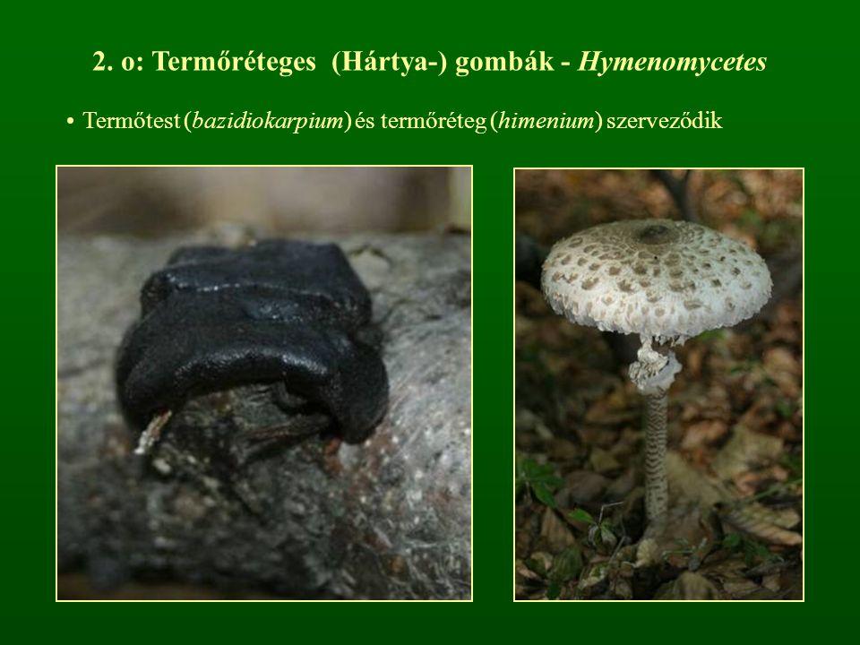 2. o: Termőréteges (Hártya-) gombák - Hymenomycetes