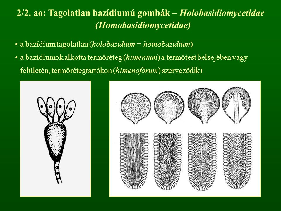 2/2. ao: Tagolatlan bazídiumú gombák – Holobasidiomycetidae (Homobasidiomycetidae)