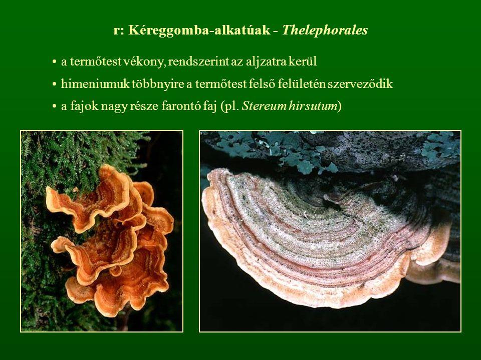 r: Kéreggomba-alkatúak - Thelephorales