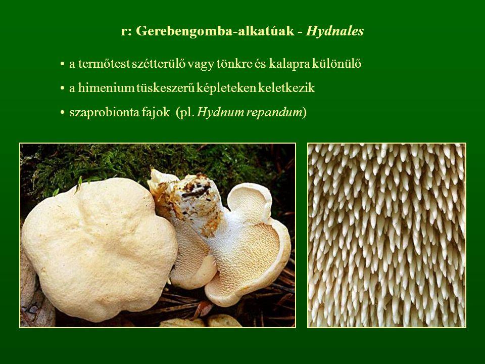 r: Gerebengomba-alkatúak - Hydnales