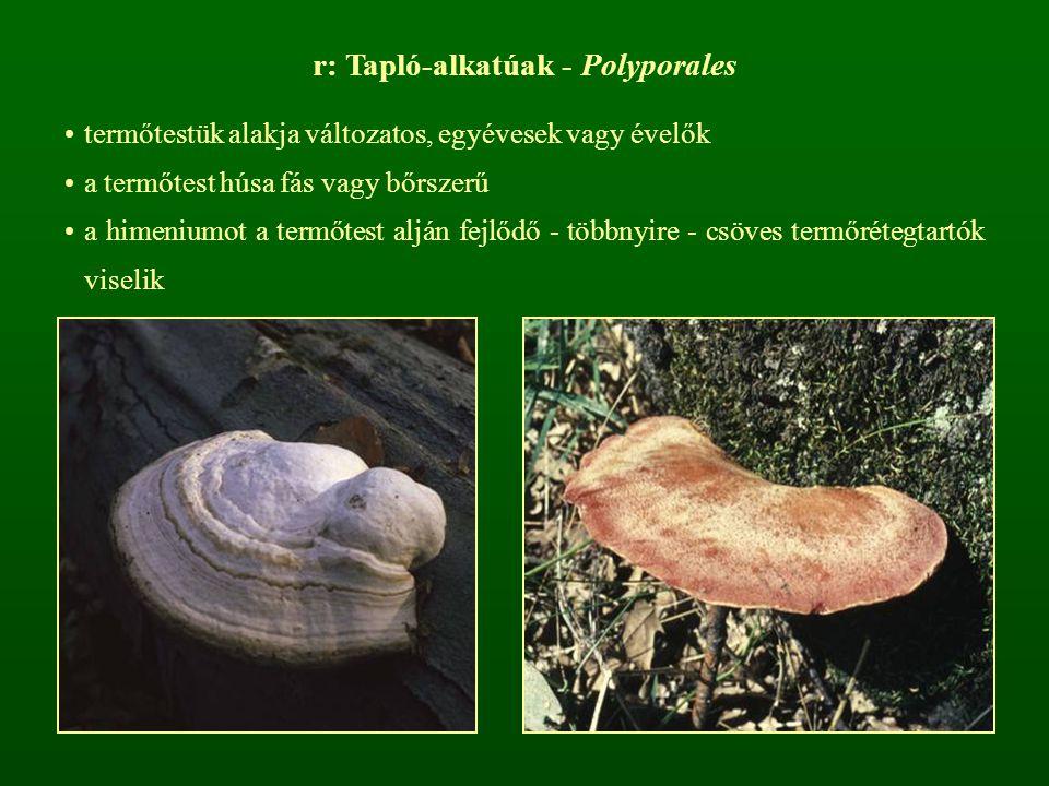 r: Tapló-alkatúak - Polyporales