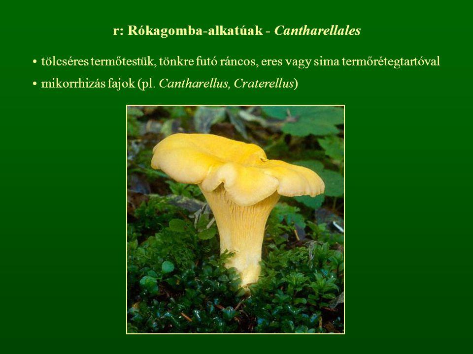 r: Rókagomba-alkatúak - Cantharellales
