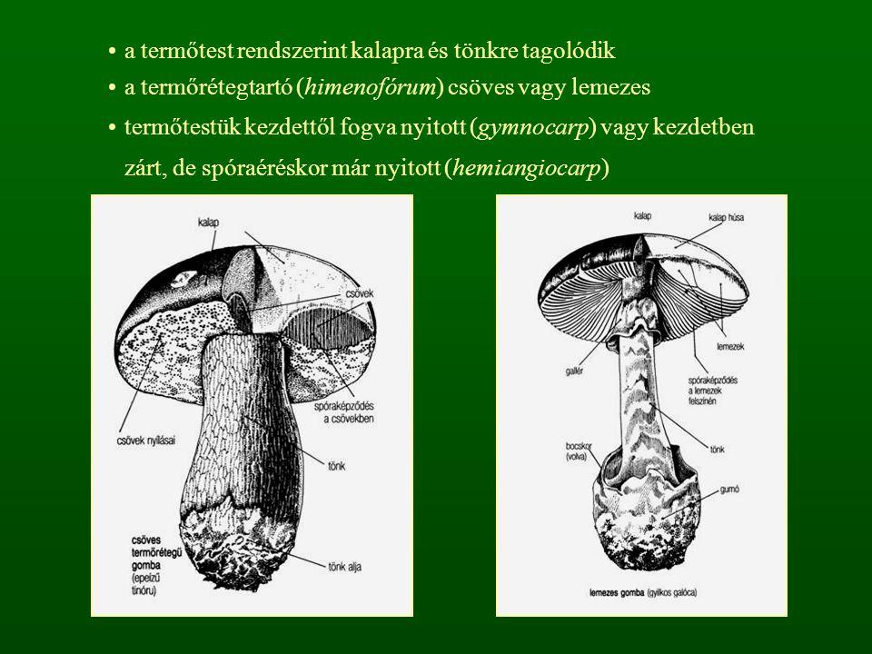 a termőtest rendszerint kalapra és tönkre tagolódik
