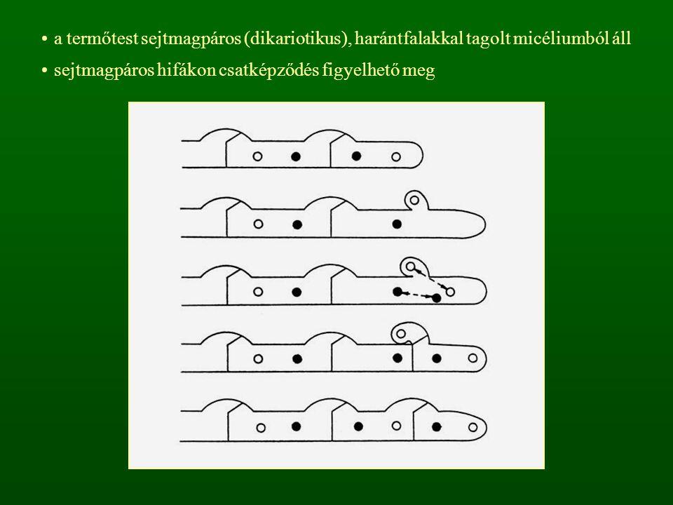 a termőtest sejtmagpáros (dikariotikus), harántfalakkal tagolt micéliumból áll