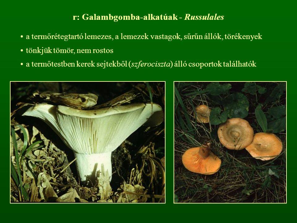 r: Galambgomba-alkatúak - Russulales
