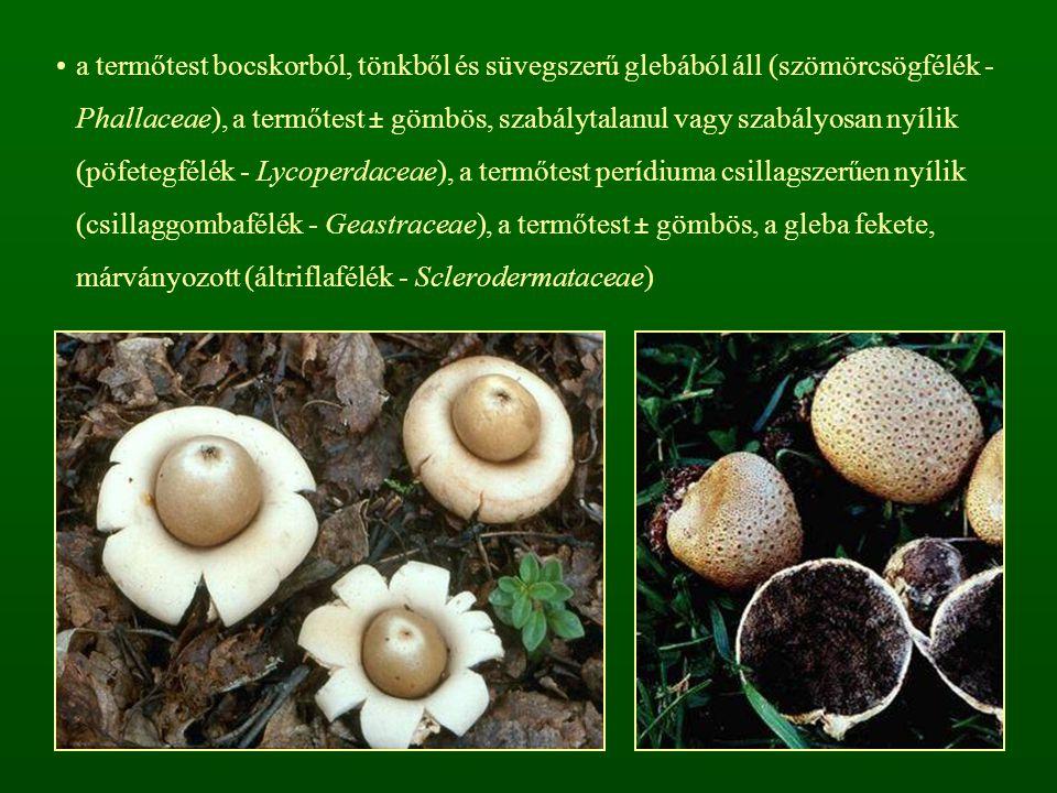 a termőtest bocskorból, tönkből és süvegszerű glebából áll (szömörcsögfélék - Phallaceae), a termőtest ± gömbös, szabálytalanul vagy szabályosan nyílik (pöfetegfélék - Lycoperdaceae), a termőtest perídiuma csillagszerűen nyílik (csillaggombafélék - Geastraceae), a termőtest ± gömbös, a gleba fekete, márványozott (áltriflafélék - Sclerodermataceae)