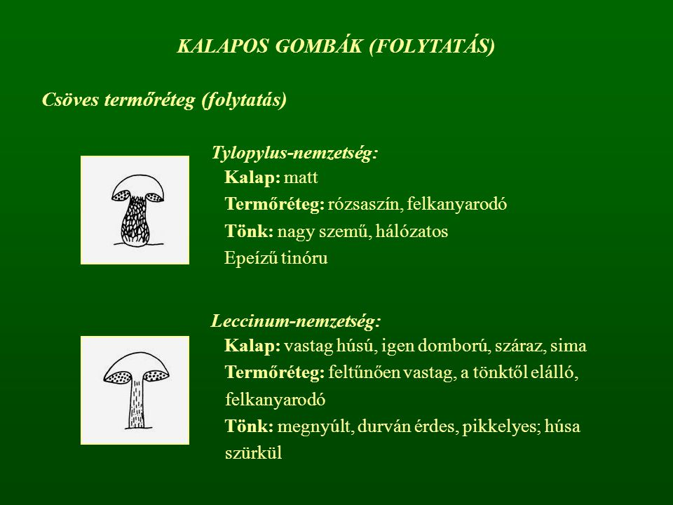 KALAPOS GOMBÁK (FOLYTATÁS)