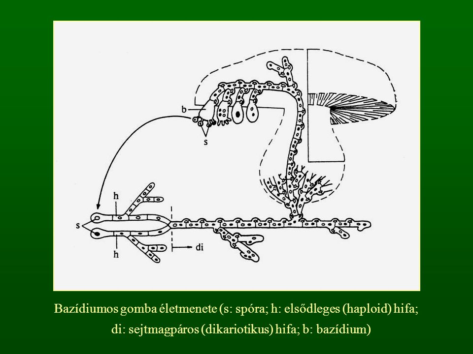 Bazídiumos gomba életmenete (s: spóra; h: elsődleges (haploid) hifa; di: sejtmagpáros (dikariotikus) hifa; b: bazídium)