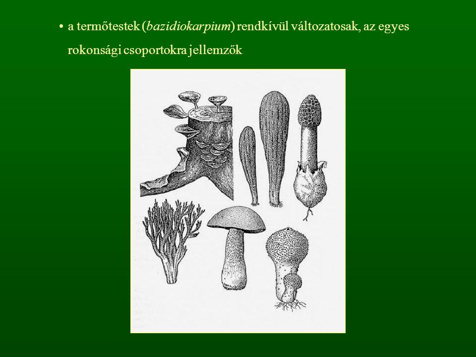 a termőtestek (bazidiokarpium) rendkívül változatosak, az egyes rokonsági csoportokra jellemzők