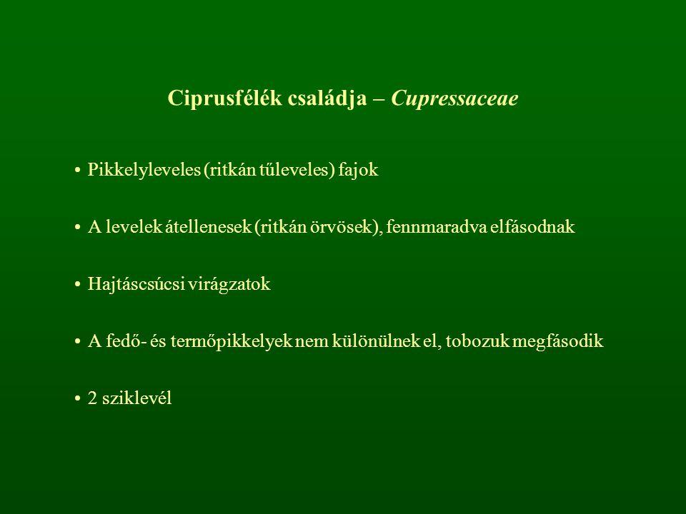 Ciprusfélék családja – Cupressaceae