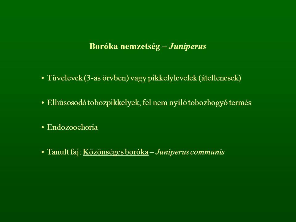 Boróka nemzetség – Juniperus